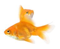 Pair of goldfish. Isolated on white background royalty free stock image