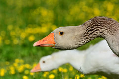 Pair of Goose. Walking on green Gras stock photography
