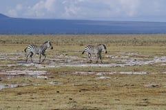 Pair of Grants zebra. Plains Zebra  in savannah ,  Amboseli National Reserve, Kenya, East Africa Royalty Free Stock Image