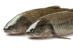 Pair of grass carps stock images