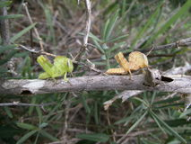 Pair of grasshopper on branch in Swaziland Stock Photos