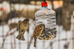 A pair of gray and brown sparrows is in the transparent plastic bottle feeder house in the park in winter. A pair of gray and brown sparrows eats in the stock photo