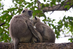 Pair of gray langurs Royalty Free Stock Photography