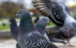A pair of gray pigeons in a city park royalty free stock image