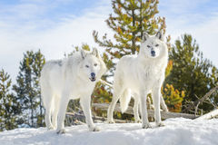 A pair gray timber wolf in winter. Two gray timber wolf Canis lupus, walking in snow Stock Photo