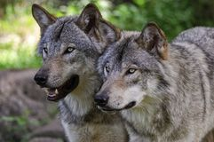 Pair of Gray or Timber Wolves looking off to the left. royalty free stock photo