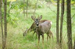Pair of grazing deer, Safari Park Taigan, Crimea. Royalty Free Stock Photo