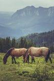 Pair of grazing horses Stock Photos