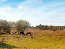 Pair Grazing. A pair of ponies grazing in the New Forest National Park Stock Photo