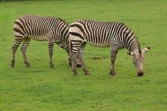 A pair of grazing Zebra Stock Image