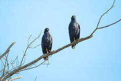 Pair of Great Black Hawks Perching with Blue Sky. Looking ahead, a pair of Great Black Hawks perched high on a branch contrast nicely against the clear blue sky stock image