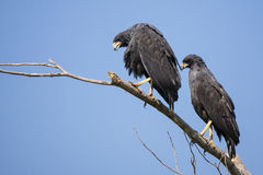 Pair of Great Black Hawks Perching High. Looking below, a pair of Great Black Hawks perched high on a branch contrast nicely against the clear blue sky stock images