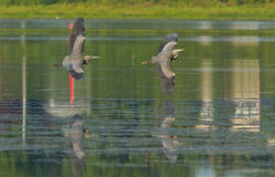 Pair of Great Blue Heron Royalty Free Stock Photography