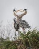 Pair of Great Blue Herons Displaying Courtship Behaviour - Florida stock photo