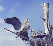 Pair of Great Blue Herons Royalty Free Stock Images