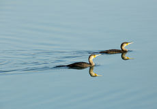 A pair of great Cormorant landing Stock Image