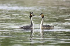 Pair of great crested grebe mating ritual. Pair of great crested grebes during mating season floating on lake surface and looking at each other.Stunning british stock image
