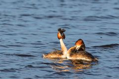 Pair of Great Crested Grebe in mating ritual Stock Photography