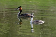 Pair of Great Crested Grebe Podiceps cristatus reflection on still lake water royalty free stock images