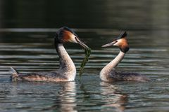 Pair of Great crested grebe Podiceps cristatus stock photos