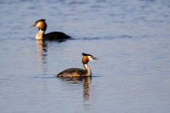 Pair of Great Crested Grebe (podiceps cristatus) swimming Royalty Free Stock Images