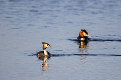 Pair of Great Crested Grebe (podiceps cristatus) swimming Stock Photo