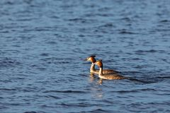 Pair of Great Crested Grebe swimming in a lake Stock Image