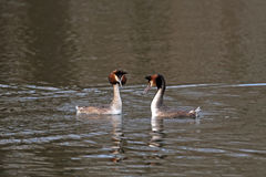Pair of great crested grebes courtship display Royalty Free Stock Photography