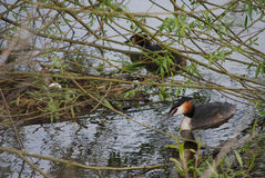 Pair of great crested grebes by nest with egg Royalty Free Stock Photos