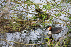 A pair of great crested grebes by their nest with a single egg. A pair of great crested grebes by their nest at the water's edge with a single egg in their nest Stock Photo