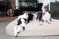 Pair of great danes. Laying on a mattress Royalty Free Stock Images