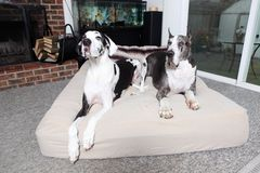 Pair of great danes. Laying on a mattress Stock Photo