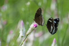 Butterfly Pair on Flower. Pair of Great Eggfly Butterfly Species . Female is on grass flower and male in flying behind her royalty free stock photo