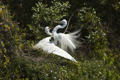 Pair of great egrets with ritual mating behavior in Florida. stock photos