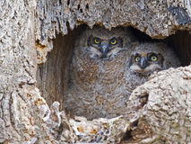 A pair of Great Horned Owls Owlets in Nest Stock Photo