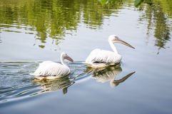 A pair of Great white pelican or Dalmatian pelican Pelecanus onocrotalus floating on the water on a pond Stock Photography