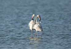A pair of Greater Flamingos Royalty Free Stock Images