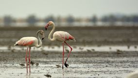Pair of Greater Flamingos stock images