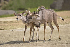 Pair of greater kudus Stock Photography