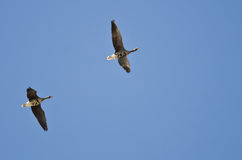 Pair of Greater White-Fronted Geese Flying in a Blue Sky Stock Photo