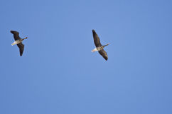 Pair of Greater White-Fronted Geese Flying in a Blue Sky Stock Photography