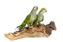 A pair of green birds. Sitting on a piece of wood, isolated on a white background stock photography