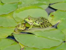 Pair of green frogs. Two frogs in water-lily leaves Royalty Free Stock Photography