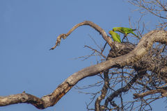 Pair of green parrots bird Royalty Free Stock Photos