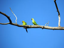 Pair of green parrots on branch. Pair of green parrots sitting on tree branch stock photo