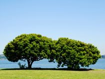 Pair of green trees. A pair of full green trees on the sound Stock Photography