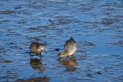 Pair of Green-winged Teal ducks at low tide feeding on the mud flats at Nisqually National Wildlife Refuge stock photos