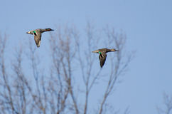Pair of Green-Winged Teals Royalty Free Stock Photography