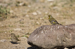 A Pair of Greenfinch (Carduelis chloris) Stock Image