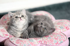 Pair of Grey British Shorthair Kittens Royalty Free Stock Photos